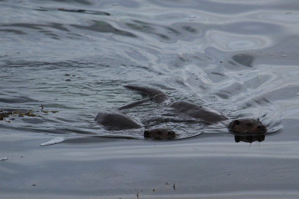 A couple of otters spotted on Loch Na Keal whilst driving to the rendezvous point