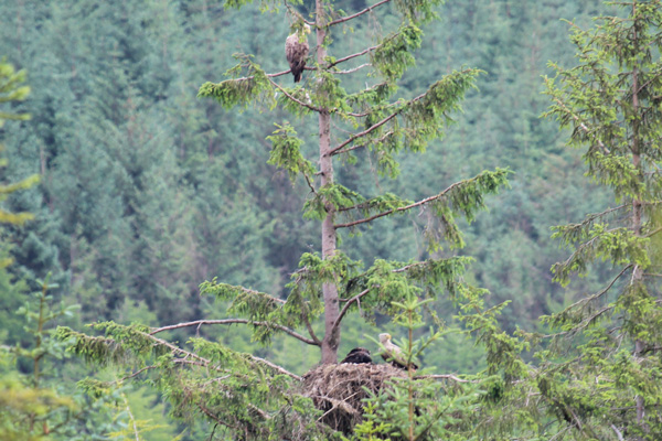 Iona the white tailed female eagle above the nest