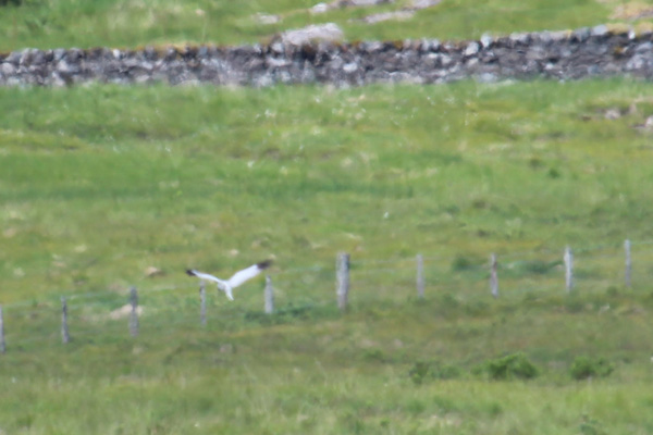 A male hen harrier spotted in South Mull after visiting the hide
