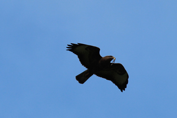 A buzzard spotted in Morvern on our way back to Moidart