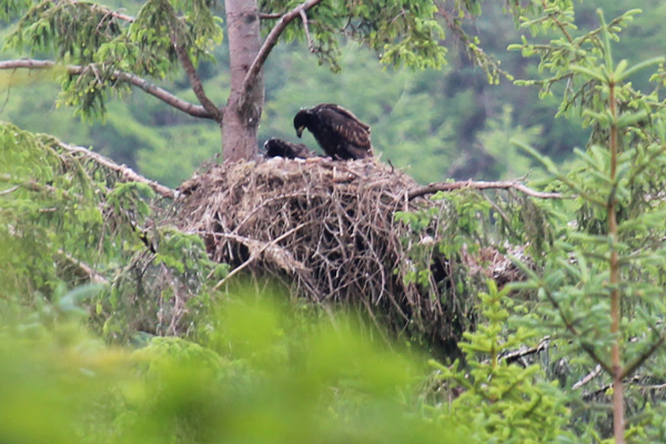 White tailed eagle chicks on the nest at eight weeks
