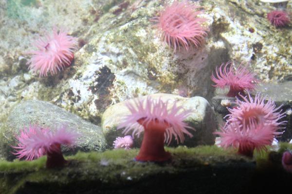 Beadlet anemones