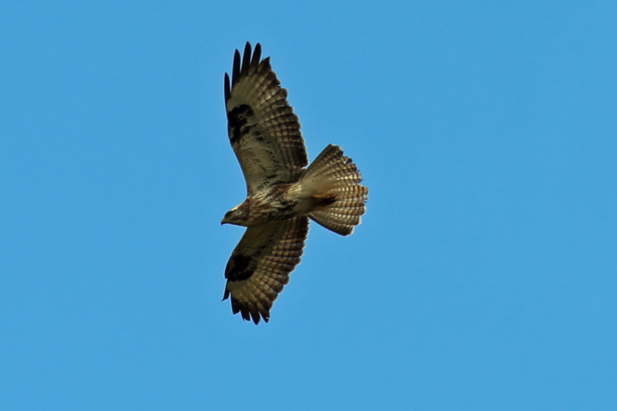 A juvenile buzzard flying over the carpark