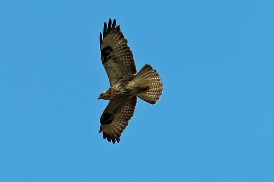A juvenile buzzard flying over the carpark