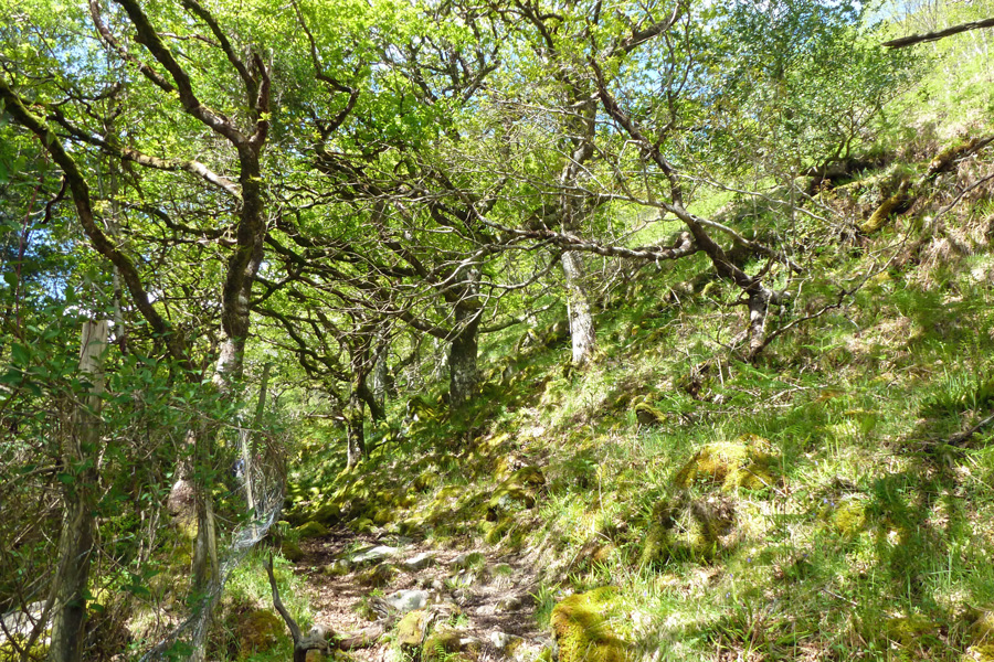 The path climbs up hill through some ancient Atlantic oak woodland
