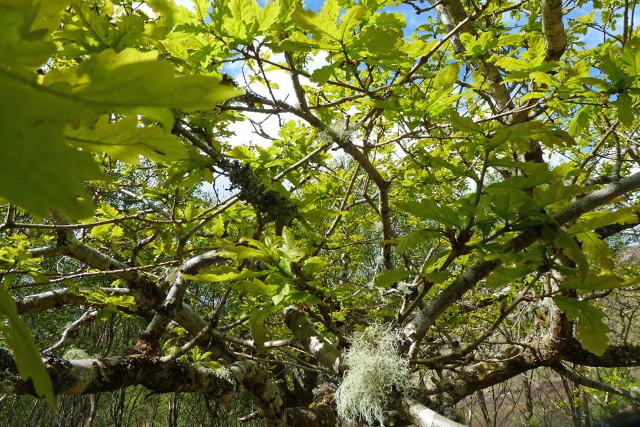 Lichen clad trees
