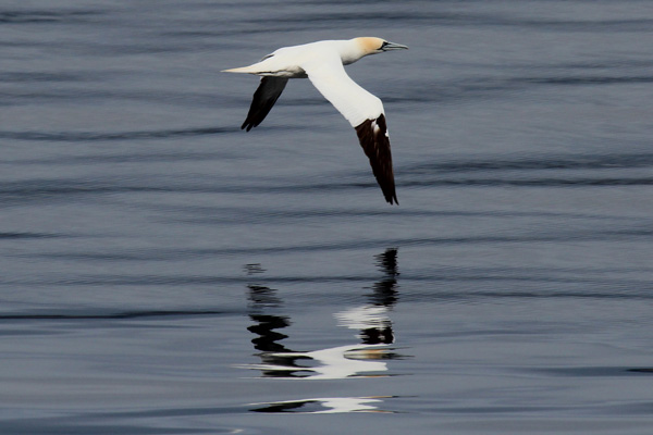 The ferry crossing is agood place for seeing gannets