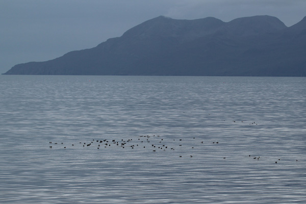 A raft of Manx shearwater on the way to Rum