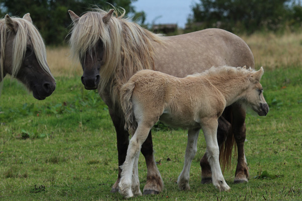 Rum Ponies by Kinloch Castle