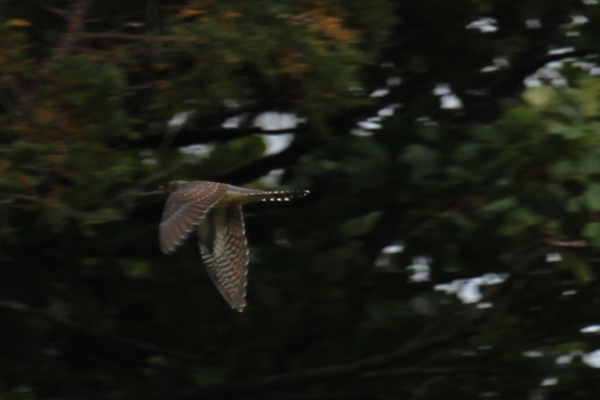 A cuckoo flying in the woods infront of Kinloch Castle