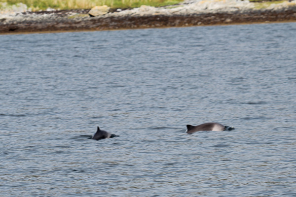 Harbour porpoise near The Isle of Carna on Loch Sunart