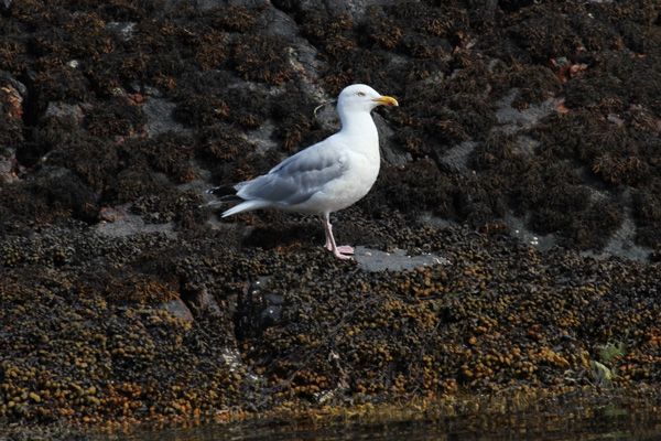 Herring gull on the rocks