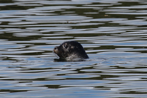Common seal by The Isle of Carna on Loch Sunart