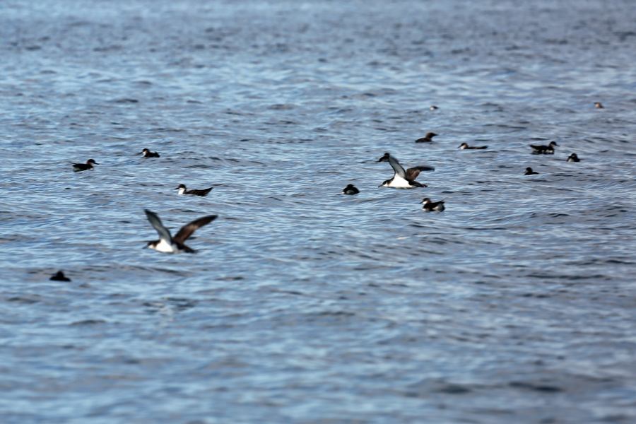 Passing past a raft of manx shearwater