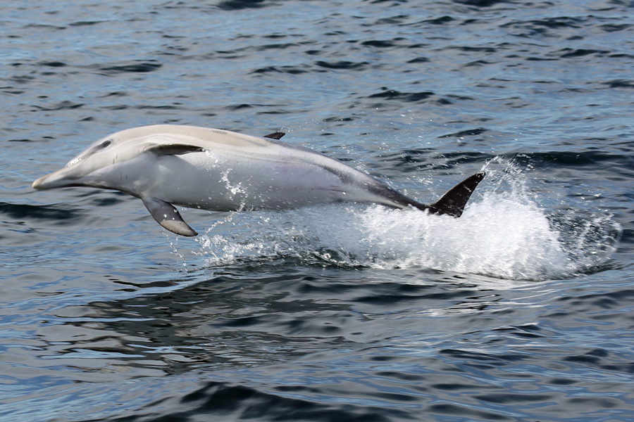 Yet another close encounter with a dolphin from The MV Orion