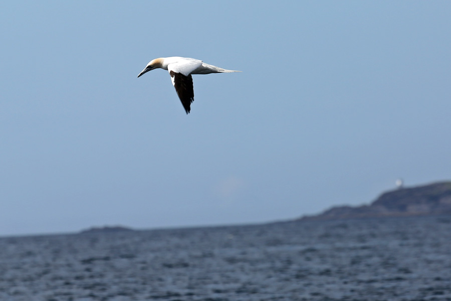 We had lots of great sightings of Gannets on the Seafari cruise