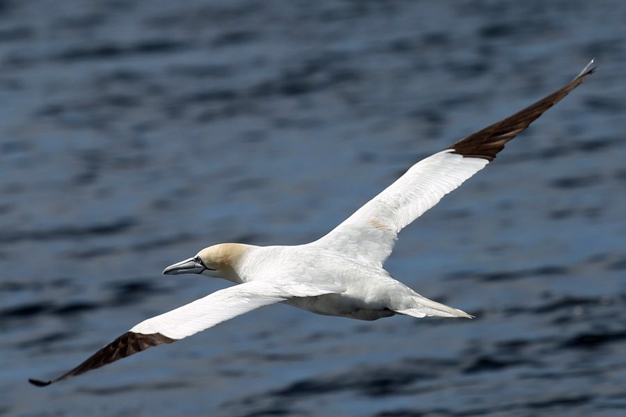 The gannets were sharing the same fishing grounds with the dolphins