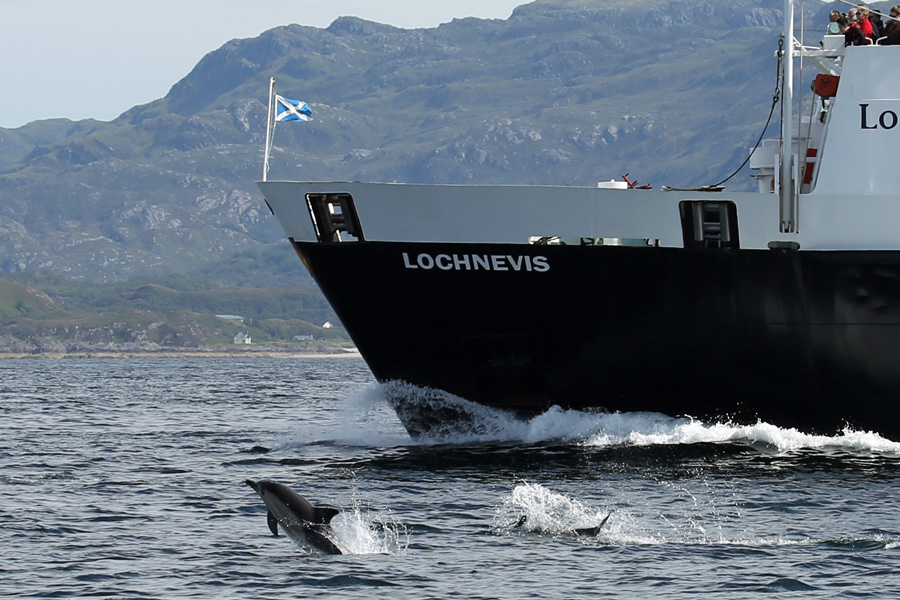Dolphins surrounding The Loch Nevis Ferry sailing from The Samll Isles to Mallaig