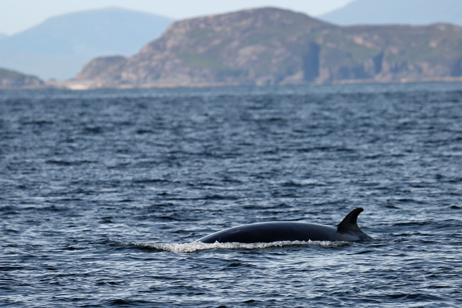 A great sighting of a Minke Whale from The MV Orion