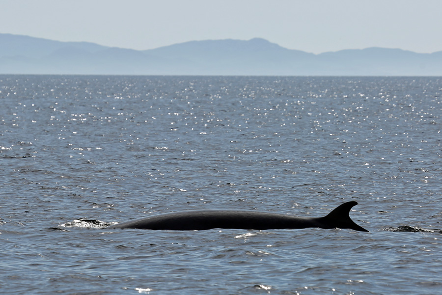 We were lucky enough to have several good sightings of Minke Whales on our Seafari wildlife cruise