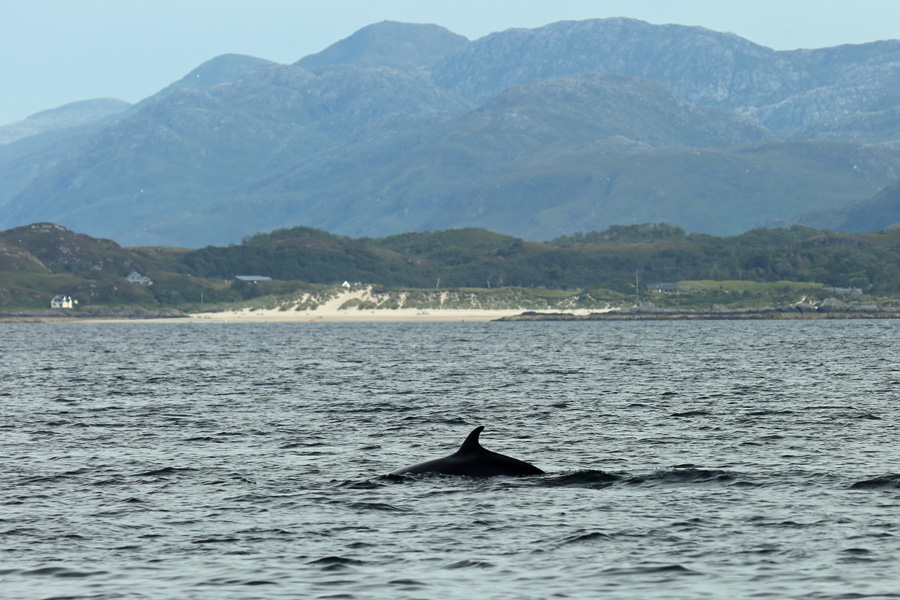 Minke Whale infront of the beaches at Camusdarach - Ben's Beach in the film Local Hero