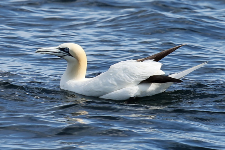 We had some great sightings on gannets close by the MV Orion