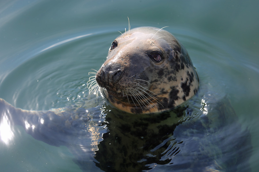 Sammy the Seal back at Mallaig Marina